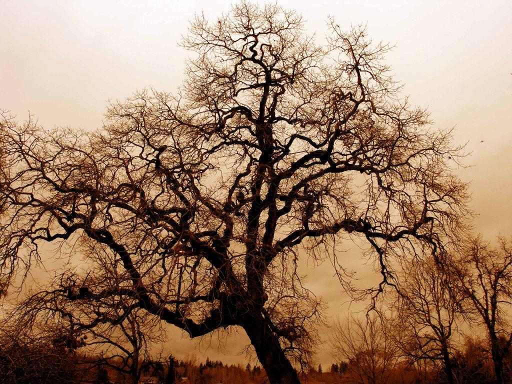 A majestic oak tree.