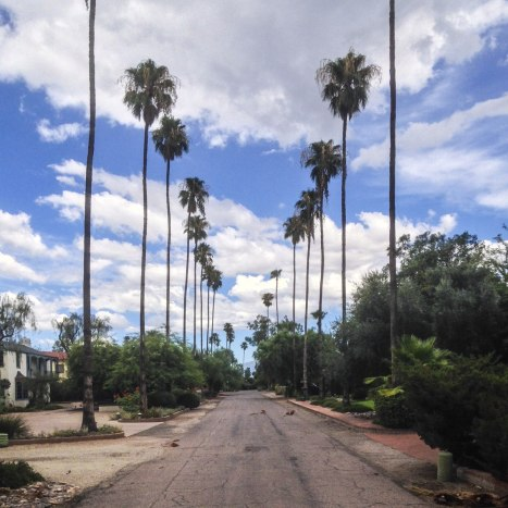 Palms lining a nice street in the Sam Hughes area.