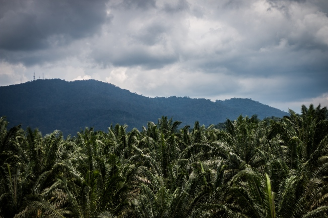 Malaysia is the second-most prolific producer of palm oil.